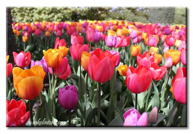 Variety colors of tulips at Roozen Gaarde Washingrton Bulb Company