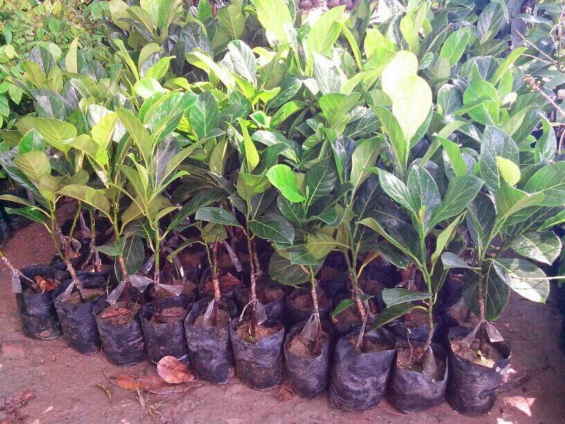 Jack Fruit Plant Picture