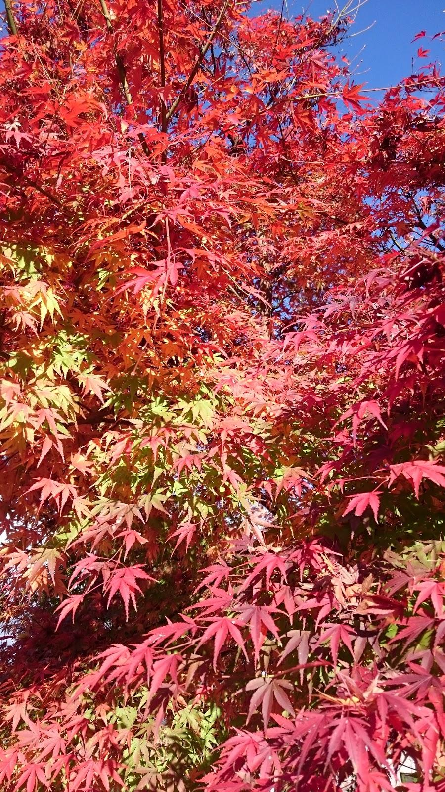 朝日に照らされた鮮烈な紅葉