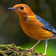 Cara Merawat Burung Anis Merah Cepat Ngeplong
