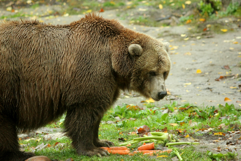 Toronto Zoo in the fall - grizzly bear