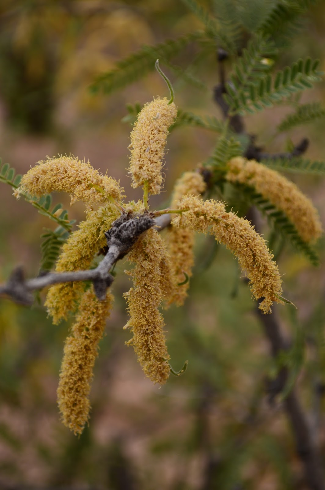 Mesquite, prosopis, desert tree, sonora, native tree