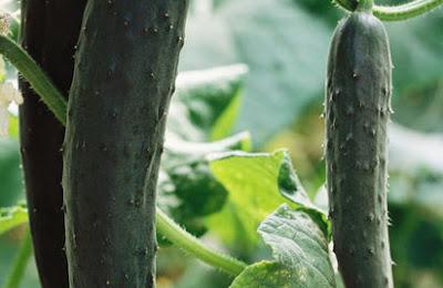 cucumber fruits