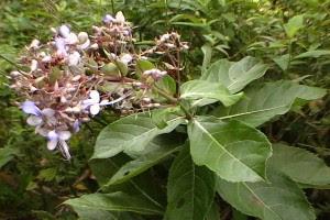 Pengobatan asma alergi dengan akar senggugu