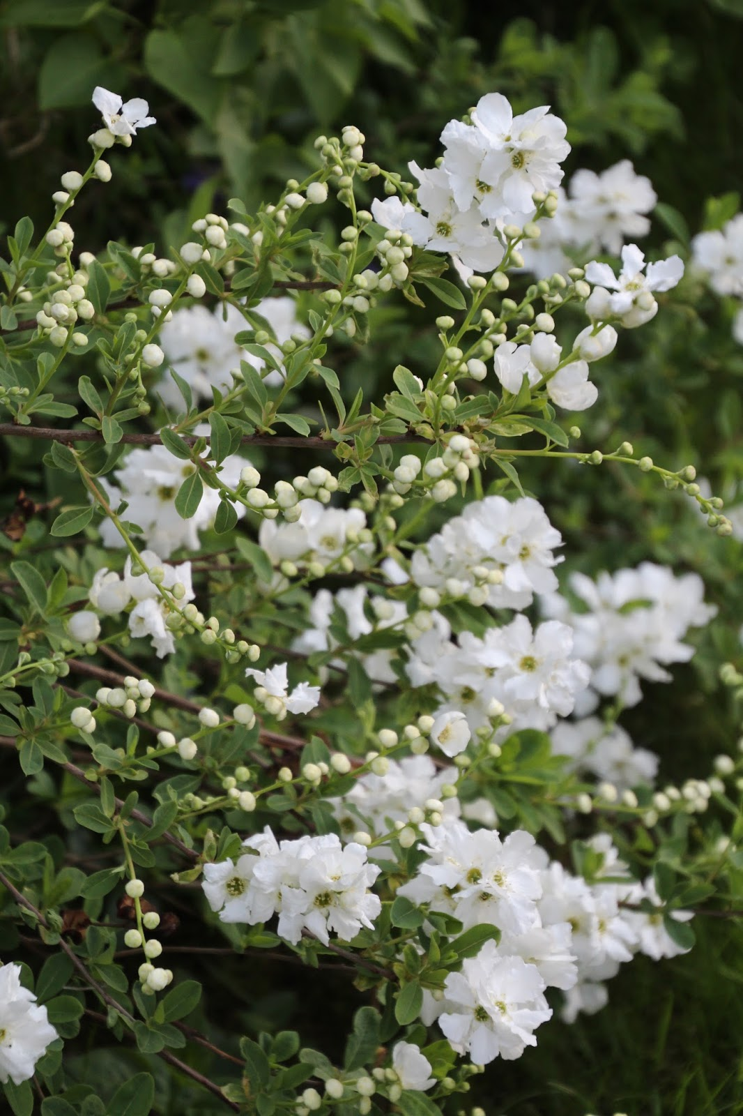 Pärlbuske Exochorda macrantha 'The Bride'