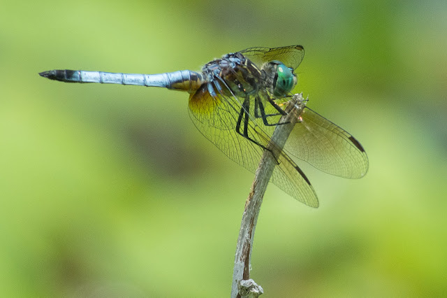 Blue Dasher, Post Oak Park