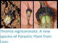 http://sciencythoughts.blogspot.co.uk/2017/09/thismia-nigricoronata-new-species-of.html