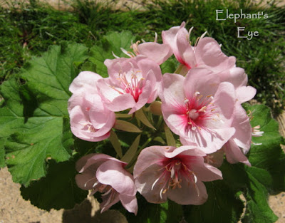 Dombeya in a vase with their faces to the sun supported by Pelargonium leaves
