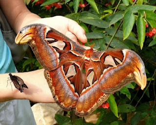 10 Insetos Gigantes encontrados na Natureza