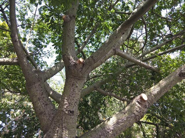 Rami Ceiba speciosa