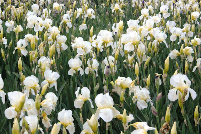 Massed white irises at Le Rivau