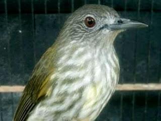 Mengenal Burung Cucak Rawis Serta Membedakan Jantan dan Betina