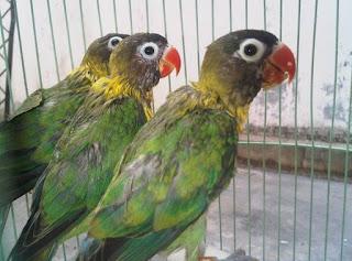 4 Jenis Makanan Terbaik Burung Lovebird Umur 3 Bulan Agar Rajin Ngekek