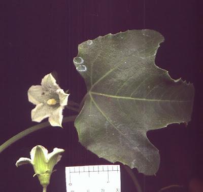 Cayaponia bonariensis