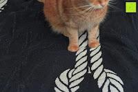 """Katze auf Laken: ZOLLNER hochwertiges Strandlaken / Strandtuch / Badetuch 100x200 cm marine-weiß, in weiteren Farben erhältlich, direkt vom Hotelwäschehersteller, Serie """"Marina"""""""