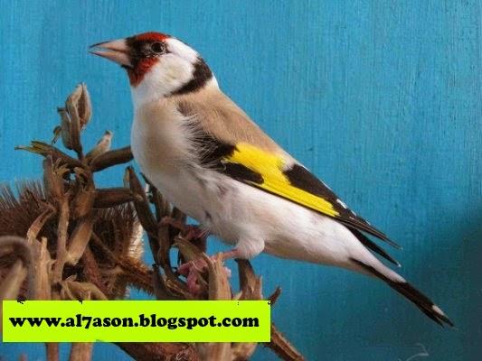 طفرات طائر الحسون , طائر الحسون , صور لطفرات الحسون