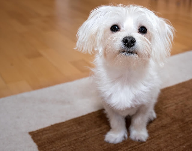 maltese dogs,what to know about maltese,adopting a maltese,how to take care of a maltese,things nobody told me about maltese,owning a maltese,grooming maltese,maltese poodle,maltese,poodle,swimming maltese poodle,maltipoo,maltese puppies,maltese behavior,maltese persoanlity,maltese,maltese help,maltese facts,maltese puppy,little known facts about maltese,pet vlogs,how to train dog to shake,how to train a dog,how to train dog tricks,how to train puppies,how to train give paw