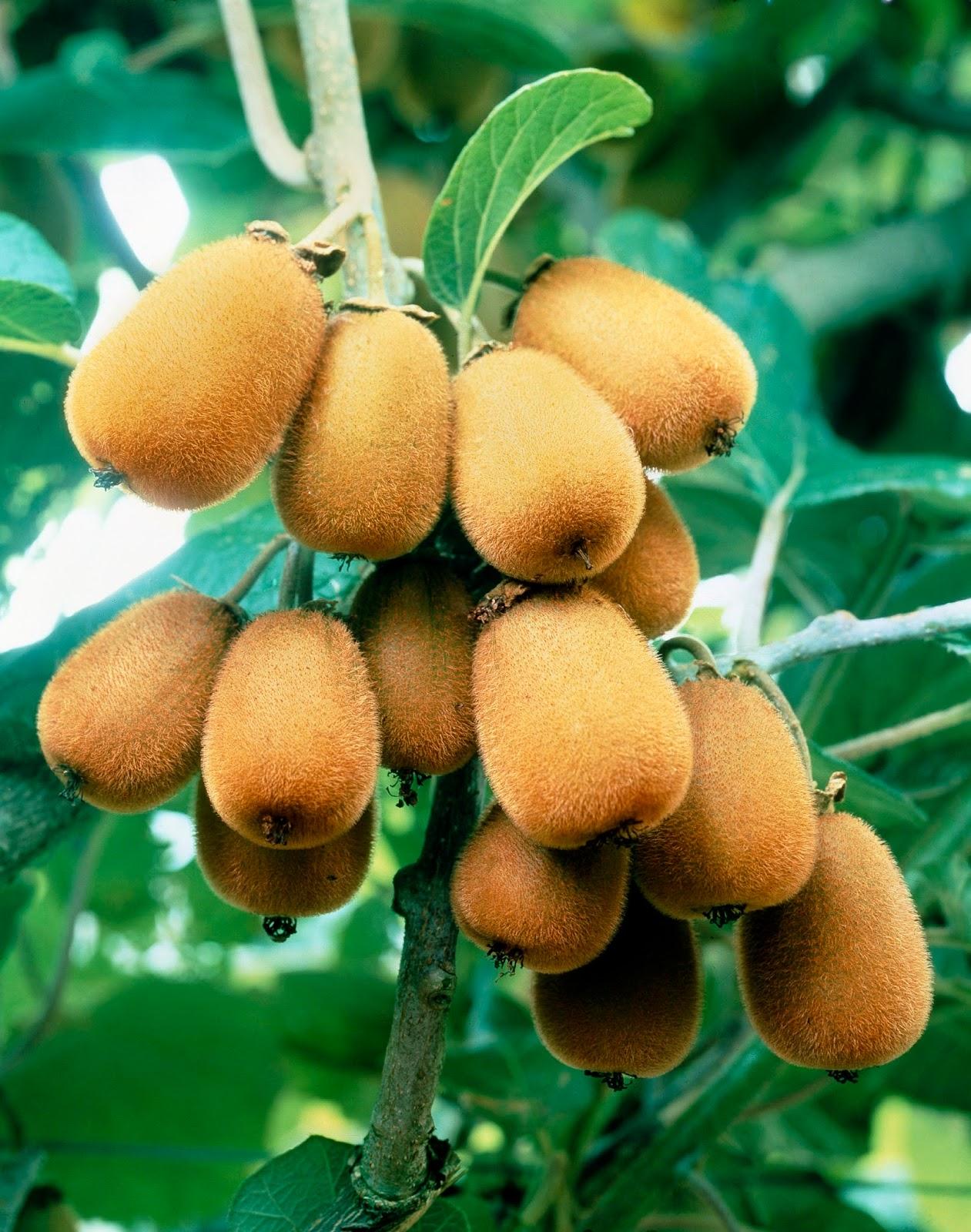 l'actinidia ou l'arbre à kiwi : culture et taille. - les carnets de