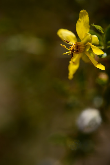larrea tridentata, flower, bloom, creosote, small sunny garden, amy myers, sonoran desert