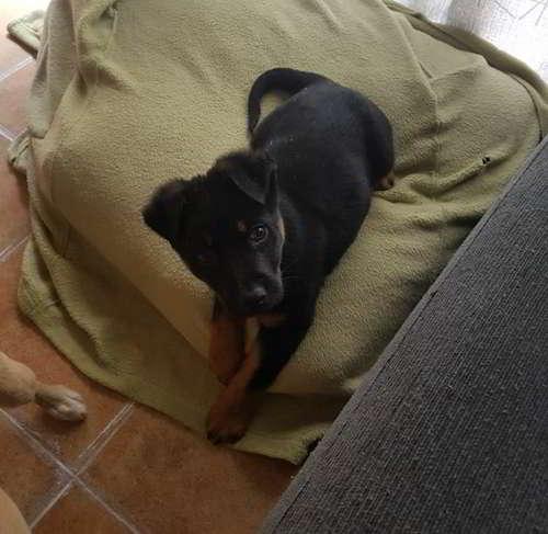 cachorro tamaño mediano