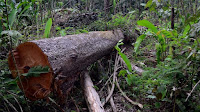 Green groups fear amnesty on land-grabbers will lead to more deforestation (Picture Credit: Vinícius Mendonça - Ascom/Ibama) Click to Enlarge.