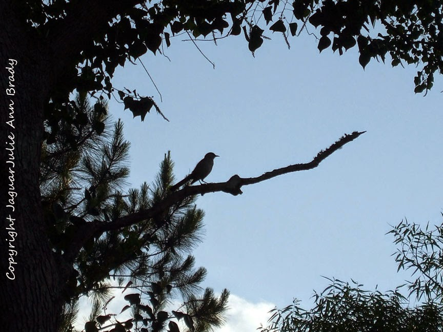 Mockingbird Silhouette in a Tree
