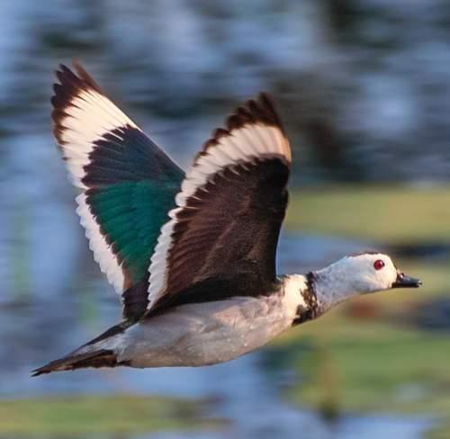 Cotton pygmy-goose - Nettapus coromandelianus