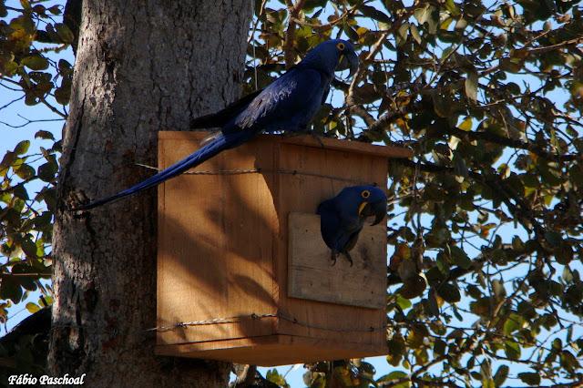 arara-azul-árvore-caixa