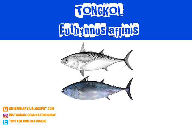 Mackerel Tuna (Ikan Tongkol) (Euthynnus affinis)