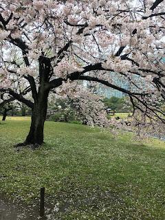 浜離宮恩賜庭園の桜②