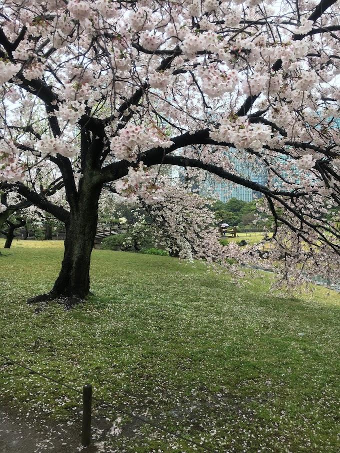 都会のオアシス浜離宮恩賜庭園で雨のお花見