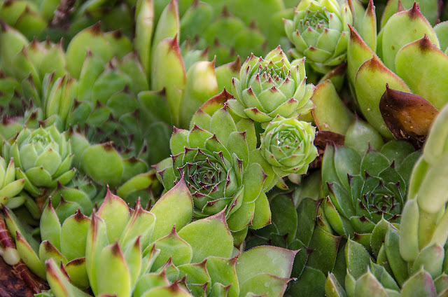 Hens and Chicks Plant - Lat. Sempervivum tectorum