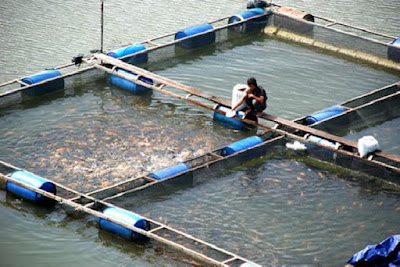 Potensi Budidaya Ikan Air Payau Lampung Capai Ratusan Ribu Ton Per