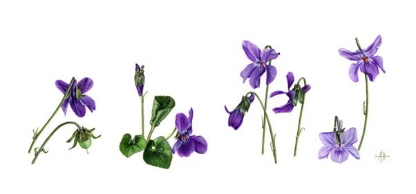 Ah Le Blog Portraits De Violettes
