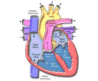 Ruang Dalam Jantung