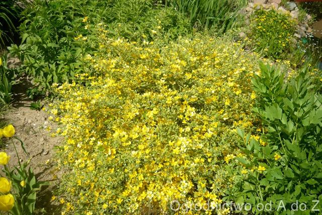 Kerria japonica 'Picta'