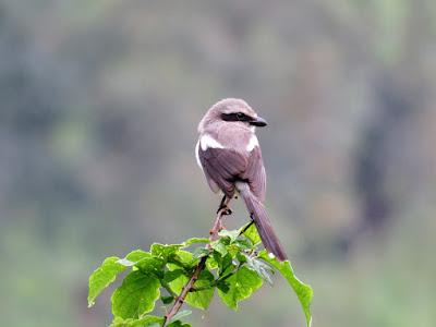 Souza's Shrike in Western Uganda