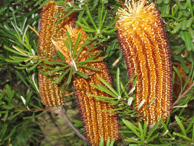 Banksia%2Bspinulosa.jpg