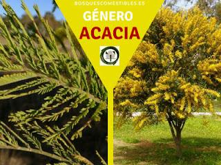 El género Acacia arboles de hojas perennes o caducas, muchos son espinosos