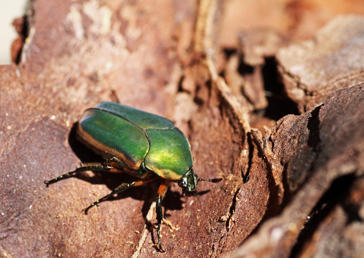 MObugs: Green June Beetle - photo#11