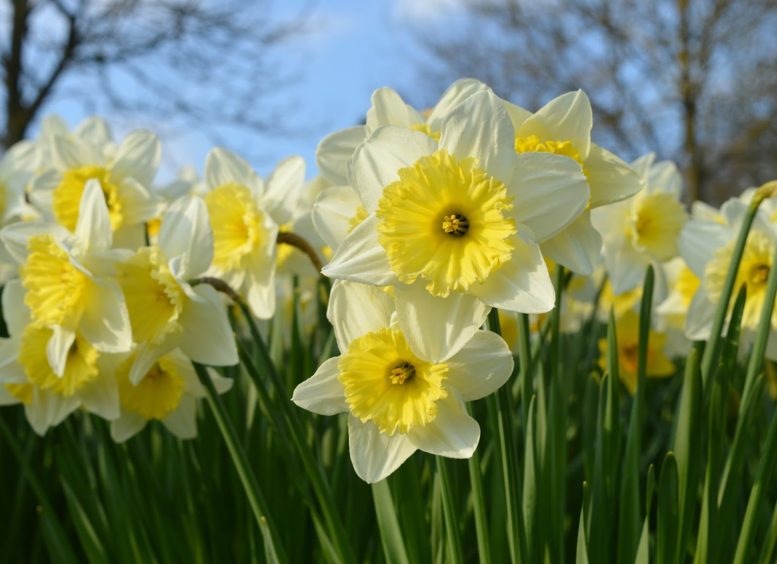 Wynyard Hall Hotel and Spa - Daffodil Display