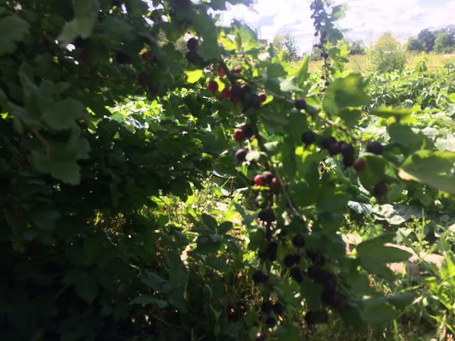 ветка с ягодами кружовника