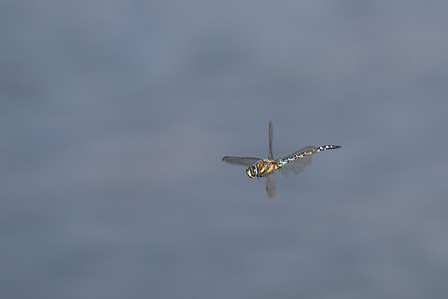 Migrant Hawker in Flight (male)