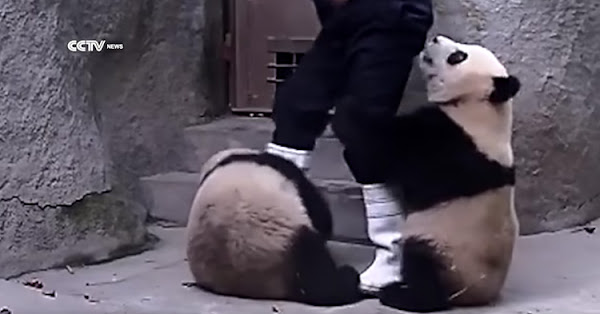 The two Pandas joined forces and clings into the keeper's feet.