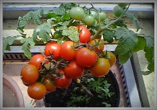 Menanam Tanaman Buah Tomat Di Dalam Pot