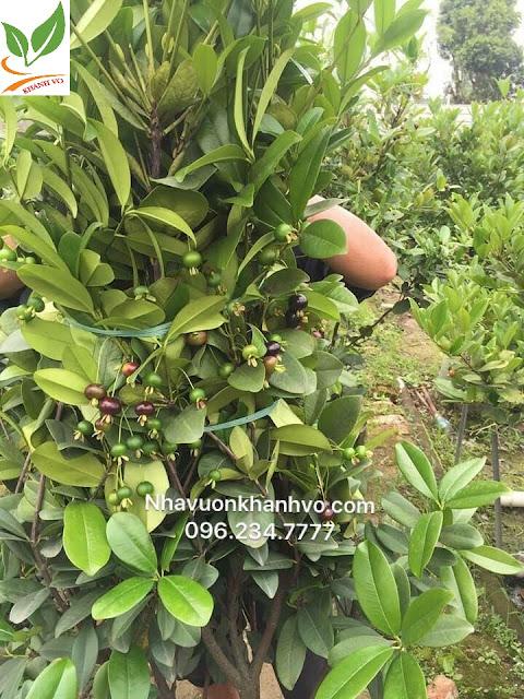 cây cherry tuyệt phẩm đang ra trái tại nhà vướn