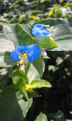 "La Commelina erecta (""flor de Santa Lucía"""
