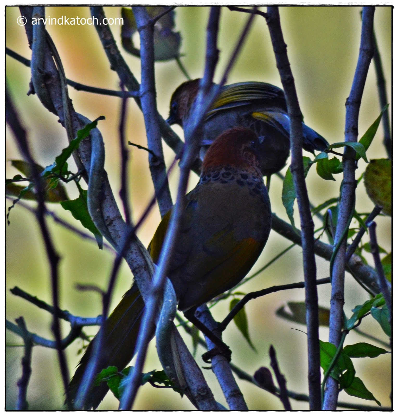 Back,  Chestnut-crowned Laughingthrush, Laughingthrush,