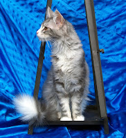 Maine Coon kidney problem