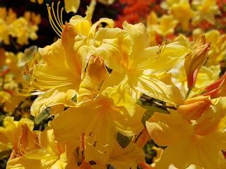 Bunga Azalea kuning
